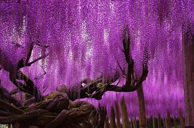 Cây hoa Tử Đằng, Nhật Bản.