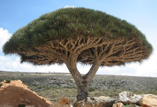 Cây rồng trên đảo Socotra, biển Ả rập.