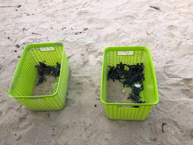 Thả hơn 115 rùa con về biển