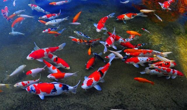 Vẻ đẹp của cá cảnh - 2