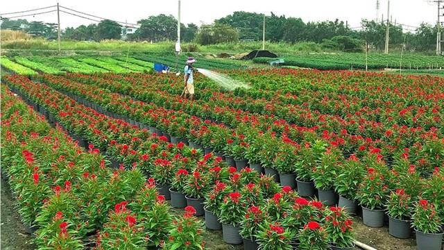 Nông dân ngoại ô tất bật vụ hoa Tết