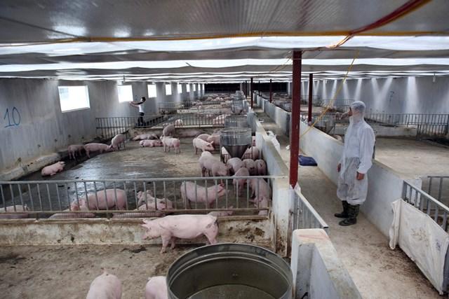 Tích cực tái đàn, kéo giảm giá thịt lợn