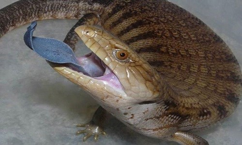 Loài vật lưỡi phản chiếu tia tử ngoại đe doạ kẻ thù