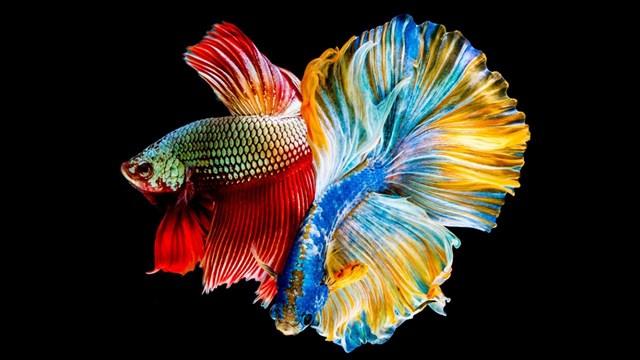 Vẻ đẹp của cá cảnh