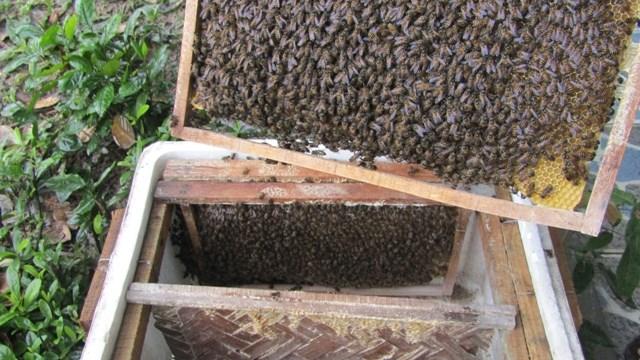 Thanh Hóa: Nuôi ong tự nhiên lấy mật - 1