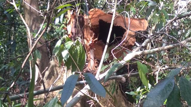 Nghệ An: Vườn Quốc gia Pù Mát bị đốn hạ gần 100 cây gỗ