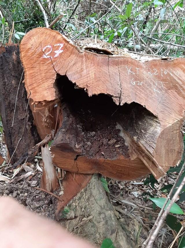 Nghệ An: Vườn Quốc gia Pù Mát bị đốn hạ gần 100 cây gỗ - 1