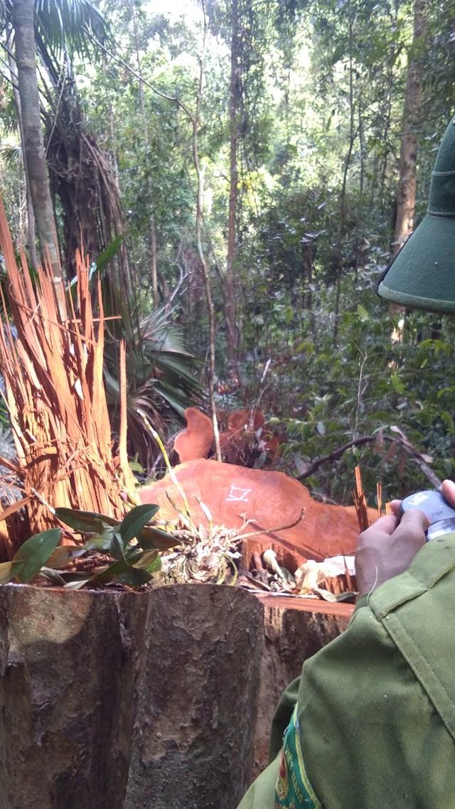 Nghệ An: Vườn Quốc gia Pù Mát bị đốn hạ gần 100 cây gỗ - 2