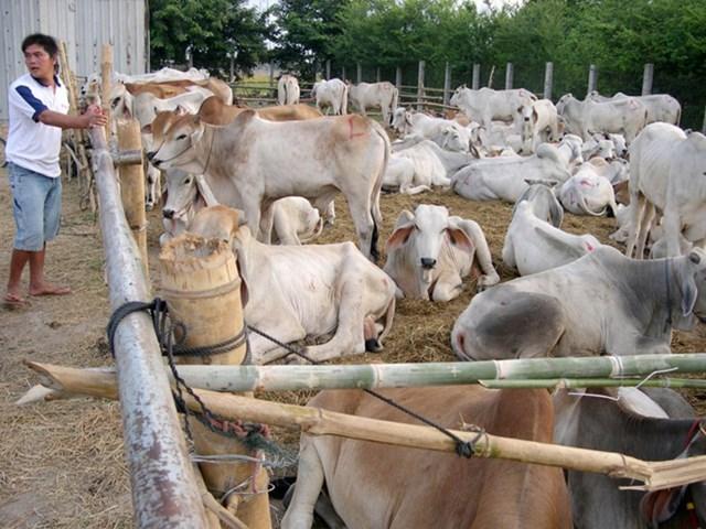 Quản lý việc mua bán, trao đổi  trâu, bò qua biên giới