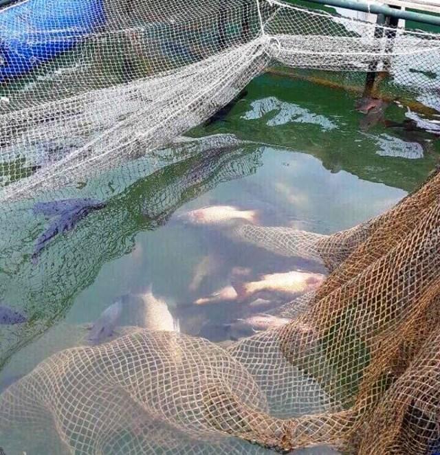 Cá, mực chết ở Cảng Vũng Áng do… thiếu ô xi