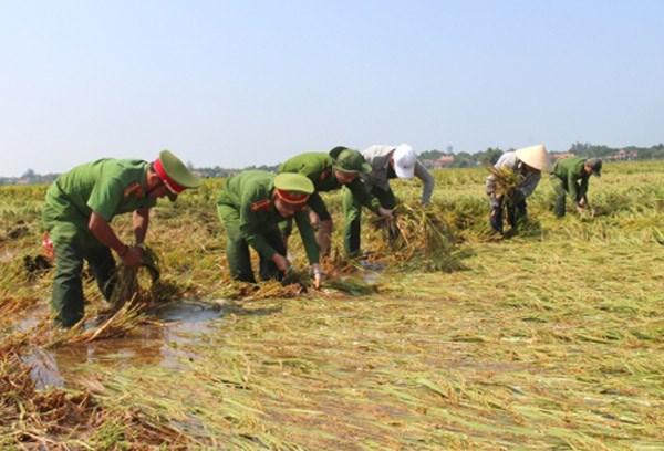 Thừa Thiên - Huế: Tập trung thu hoạch lúa bị ngã đổ do ngập úng