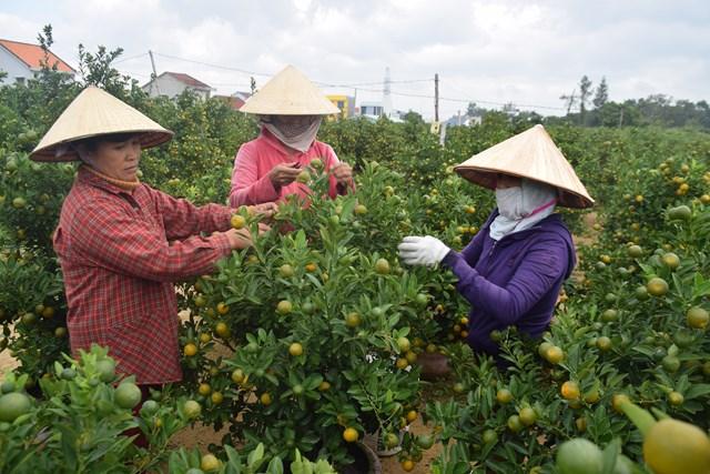 Quảng Nam: Người trồng quất tất bật vào vụ Tết Nguyên đán - 1