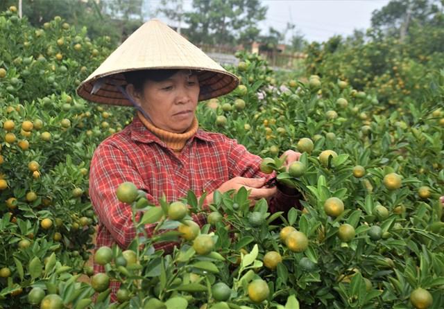Quảng Nam: Người trồng quất tất bật vào vụ Tết Nguyên đán - 2