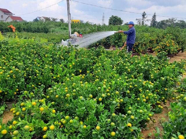 Quảng Nam: Người trồng quất tất bật vào vụ Tết Nguyên đán - 3