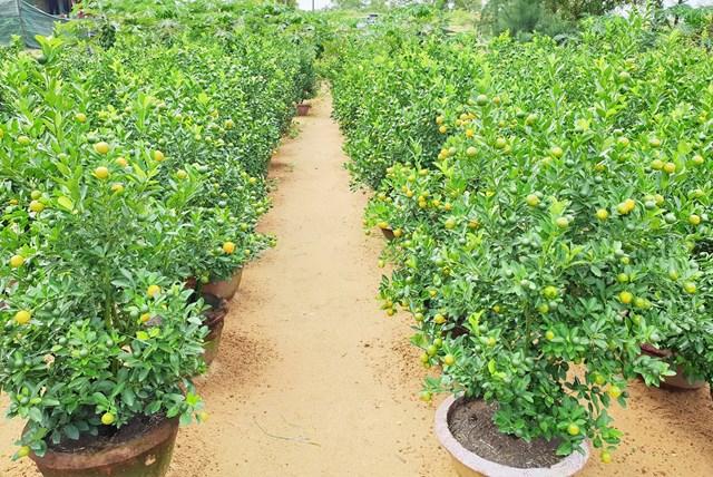 Quảng Nam: Người trồng quất tất bật vào vụ Tết Nguyên đán - 4