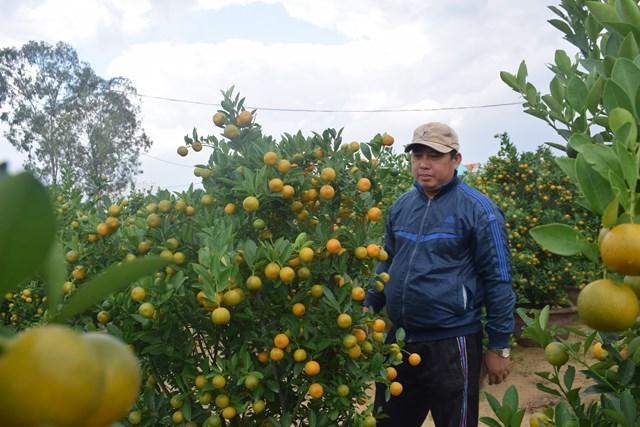 Quảng Nam: Người trồng quất tất bật vào vụ Tết Nguyên đán - 5