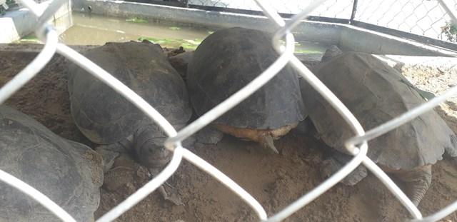 Quảng Nam: Tạm giữ 7 cá thể rùa nghi quý hiếm