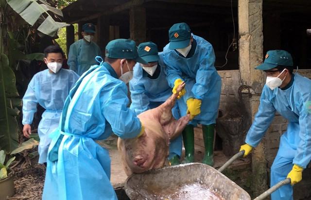 Lào Cai gặp khó khăn trong kiểm soát dịch tả lợn châu Phi