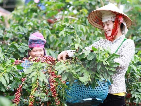 Đắk Lắk: Nông dân bỏ tái canh cây cà phê