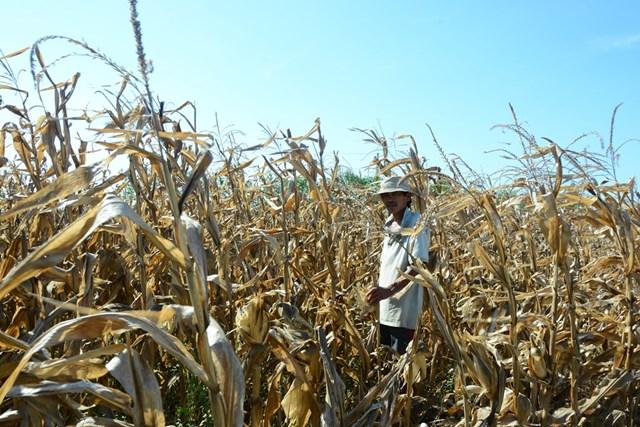 Quảng Nam, Quảng Ngãi: Nắng nóng kéo dài, nhiều cánh đồng thiếu nước