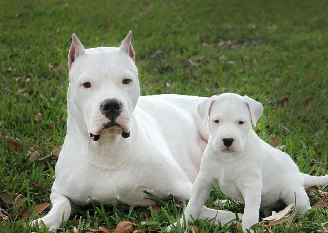 Nhữnggiống chó hung hăng nhất thế giới - 5