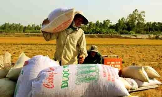 Đồng bằng sông Cửu Long: Nóng, lạnh thị trường lúa gạo