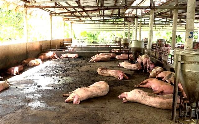 Khẩn cấp chặn dịch tả lợn châu Phi