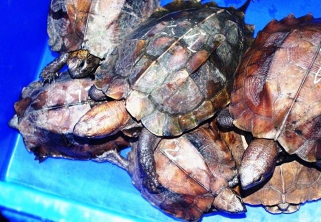 Phát hiện xe khách vận chuyển 26 cá thể rùa đặc biệt nguy cấp