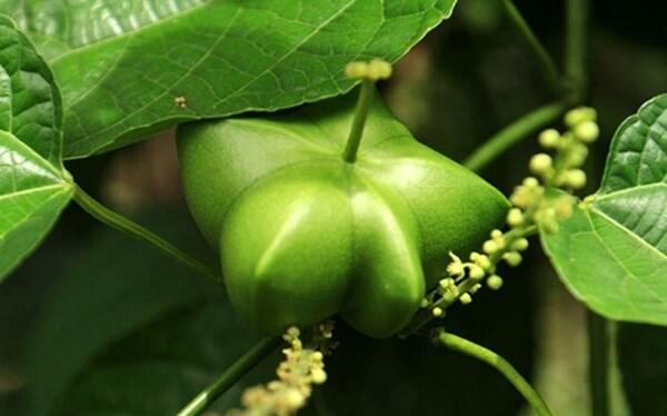Hiệu quả từ cây sachi - 1