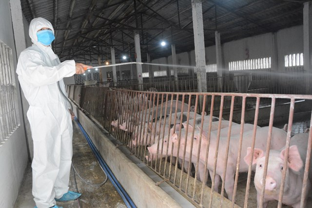 Giá lợn giống cao, tái đàn gặp khó