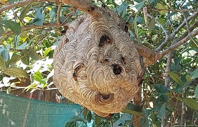 Tổ ong vò vẽ ở vườn nhà.