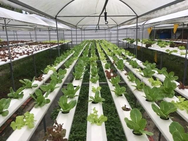 Mô hình trồng rau thủy canh ở quận Bình Thủy, TP Cần Thơ