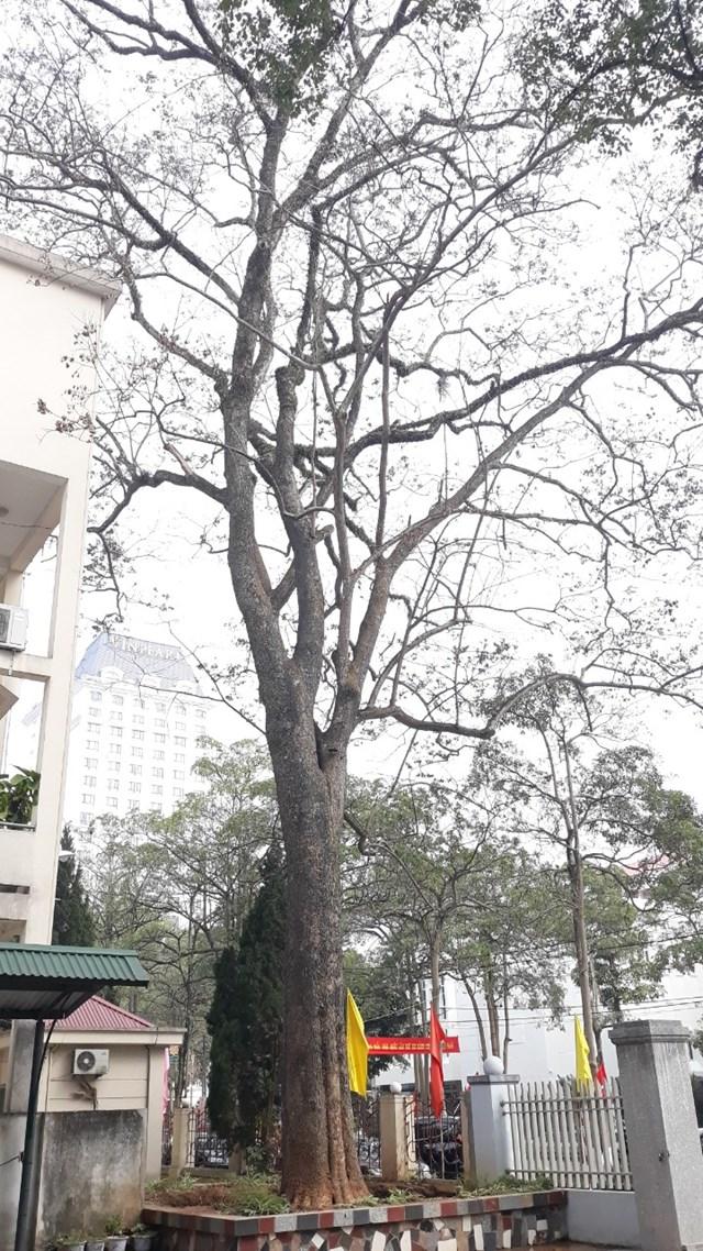 """Cây gỗ sưa """"tiền tỷ"""" trong khuôn viên Sở Kế hoạch Đầu tư và Sở Nội vụ tỉnh Lạng Sơn bị các đối tượng """"bức tử""""."""