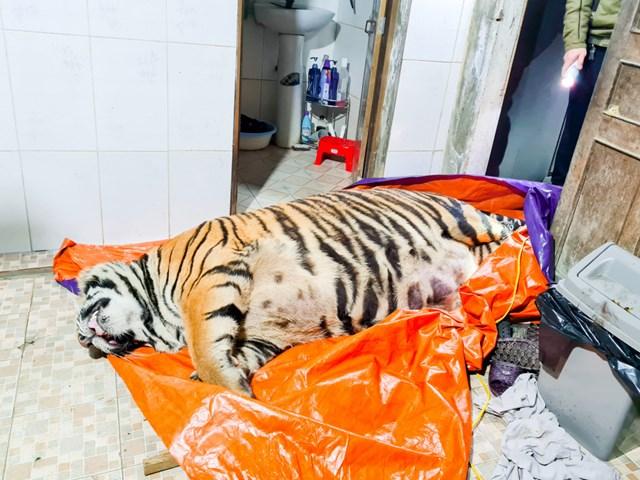 Cá thể hổ nằm bất động trong nhà vệ sinh của gia chủ Đinh Nhật Nghệ.