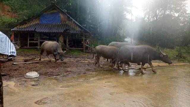 Người dân vùng núi Hương Sơn (Hà Tĩnh) đưa trâu lên vùng cao phòng lũ ập đến trong đêm.