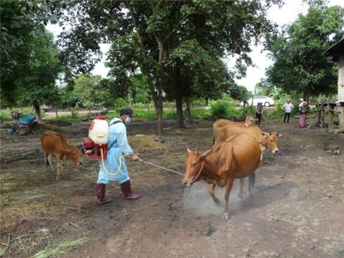 Sát khuẩn cho đàn bò, phòng chống lở mồm long móng.