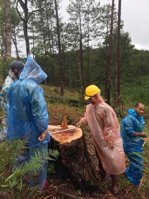 Cây thông ba lá, nhóm IV đã bị các đối tượng khai thác chặt trái phép, tại huyện Đan Rông.