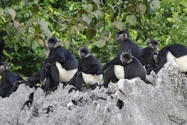 Voọc mông trắng, động vật quý hiếm đang có nguy cơ tuyệt chủng