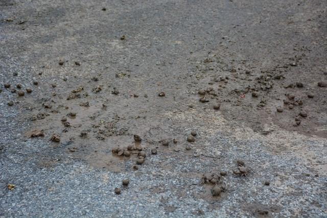 Ốc bươu vàng được vứt trên mặt đường, cho thấy việc xử lý của nông dân địa phương chưa triệt để; gây nguy hiểm cho người tham gia giao thông, gây ô nhiễm môi trường.