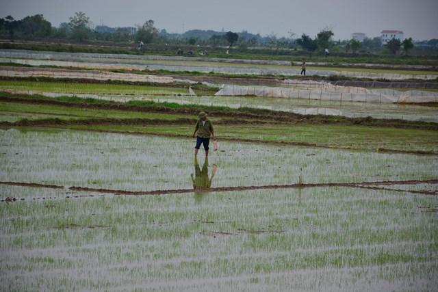 Thời điểm này, lúa xuan trên những cánh đồng nằm dọc tỉnh lộ 490 (từ TP Nam Định qua địa bàn các huyện Nam Trực, Nghĩa Hưng về biển) ở tỉnh Nam Định đã bén rễ, khoe màu xanh…