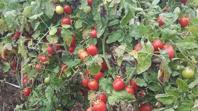 Thời điểm này, cà chua đang chính đỏ ở nhiều cánh đồng trên địa bàn huyện Nghĩa Hưng.