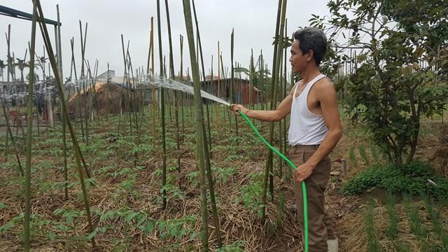 Trải qua mùa cà chua thất bát nhưng cha con ông Nguyễn Thế Cường ở xóm 1, xã Nam Điền (huyện Nghĩa Hưng-Nam Định) vẫn không quên chăm sóc cho lứa cà chua mới. Bởi, theo ông, làm nông dân mà không trồng cấy thì lấy gì thu, lấy gì sống.