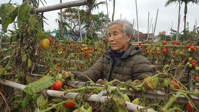 """Bà Trịnh Thị Bích, nông dân xóm 1, xã Nam Điền cho hay, lần cuối cùng bà bán được cà chua cách đây đã vài ngày. """"Tôi thu 12 khay cà chua, mỗi khay 27 kg. Năm khay đầu thương lái trả có 15.000 đồng/khay, bảy khay còn lại họ trả có 10 nghìn/khay. Tính ra được có 3-500 đồng/ kg. Giờ thì 1 trăm đồng cũng chả được vì không thấy ai về mua nữa"""", bà Bích cho biết."""