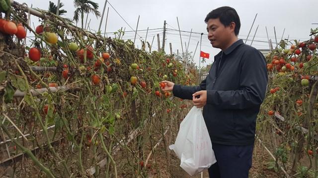 Ông Hoàng Quang Tuyến, Phó trưởng Phòng Nông nghiệp huyện Nghĩa Hưng (người trong ảnh) cho biết vụ này toàn huyện trồng khoảng 480 ha cà chua. Gần một nửa trong số này đang trong thời kỳ thu hoạch.