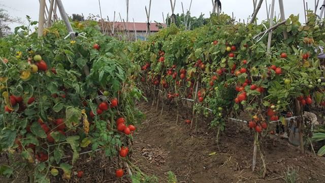 Những ngày này, cà chua đang chín đỏ rực ở huyện Nghĩa Hưng (Nam Định)