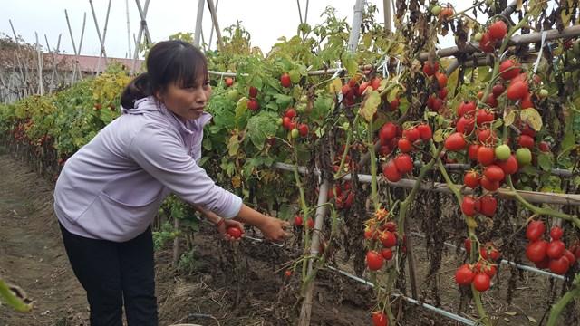 Ra ruộng vặt cà chua nhưng người nông dân này cũng chả biết sau đó dùng vào việc gì, bán thì không bán được.