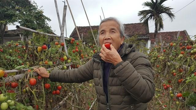 """Tiếc của, tiếc công, bà Bích chỉ còn biết """"tự tiêu"""" sản phảm cà chua ngon, sạch do mình làm ra ngay tại ruộng."""