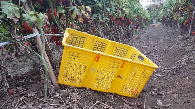 Bình thường, được giá, bán một khay cà chua 27 kg này nông dân địa phương thu mấy trăm nghìn đồng. Giờ không có người thu mua, nó bị vứt chỏng chơ ngoài ruộng.