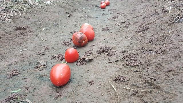 {ẢNH} Nông dân trồng cà chua ở Nam Định: 'Giờ một trăm đồng/cân cũng chả được vì không có người mua' - Ảnh 1
