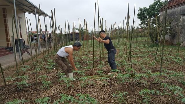 {ẢNH} Nông dân trồng cà chua ở Nam Định: 'Giờ một trăm đồng/cân cũng chả được vì không có người mua' - Ảnh 3